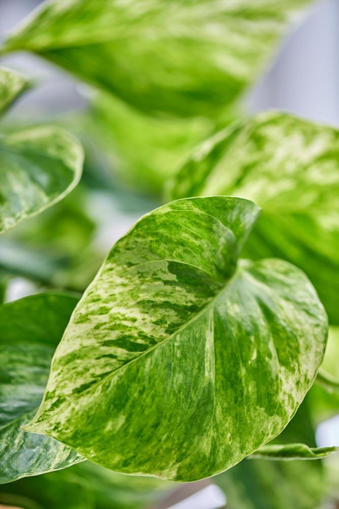 نگهداری از گیاه پوتوس (Devil's Ivy)