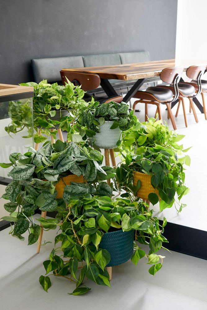 گیاه Devil's Ivy