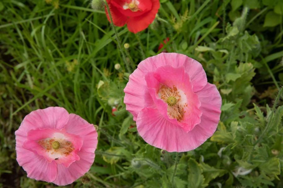 گل شقایق شرقی