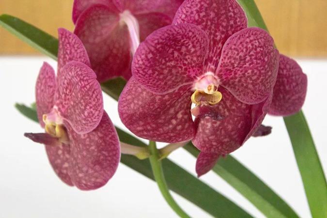 گل ارکیده وندا