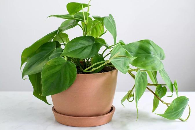 گیاه فیلودندرون