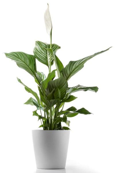 بهترین گل ها برای آپارتمان کم نور