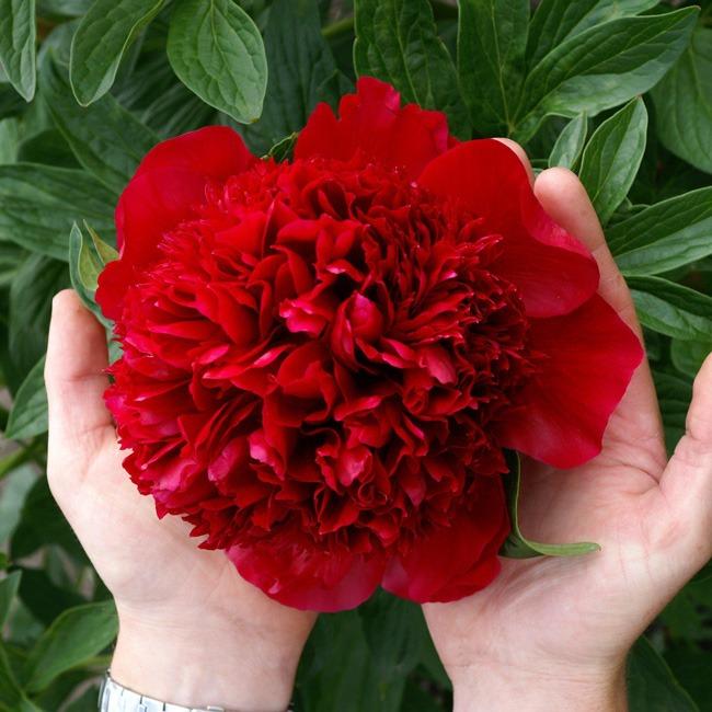گل صد تومانی قرمز