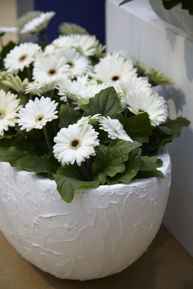 گل سفید برای گلدان