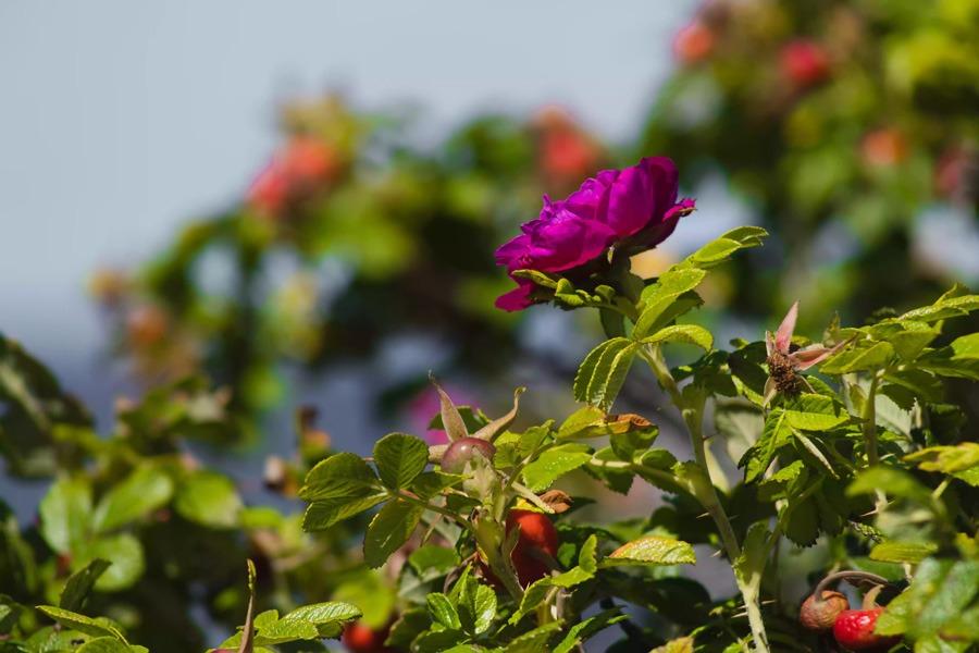 گل رز سگ