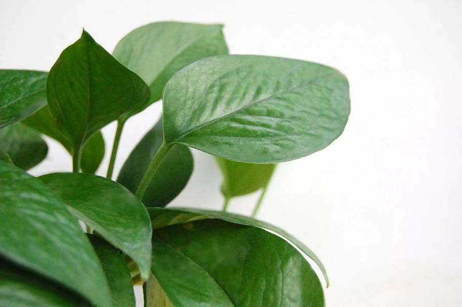 تفاوت گیاه پوتوس با فیلودندرون