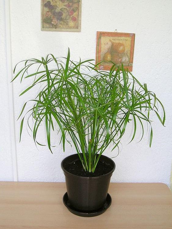 گیاه نخل مرداب