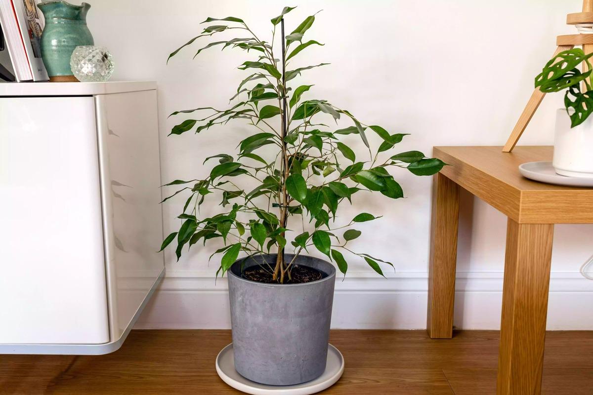 گیاه بنجامین