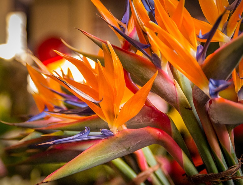 گل پرنده بهشتی