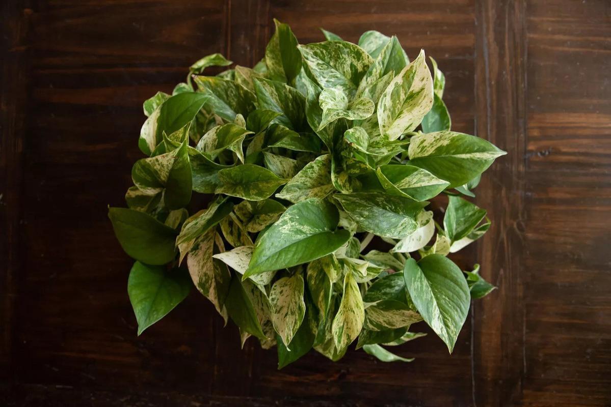 گیاه پوتوس