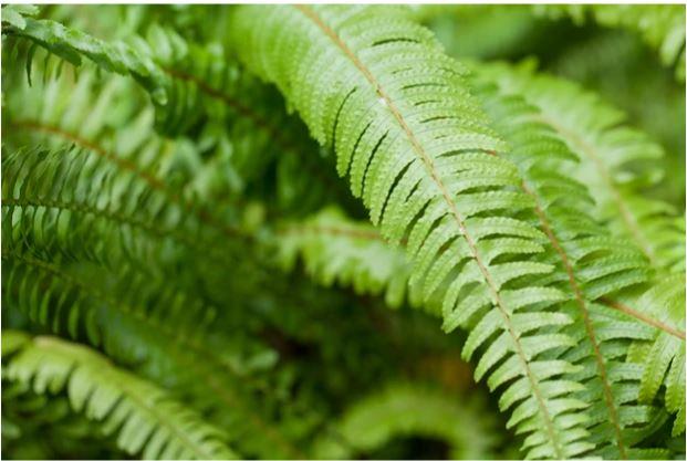 گیاهان آپارتمانی سایه دوست - Nephrolepis cordifolia