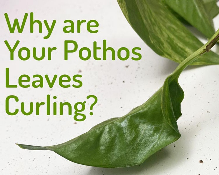 علت لوله شدن یا پیچ خوردن برگ پوتوس