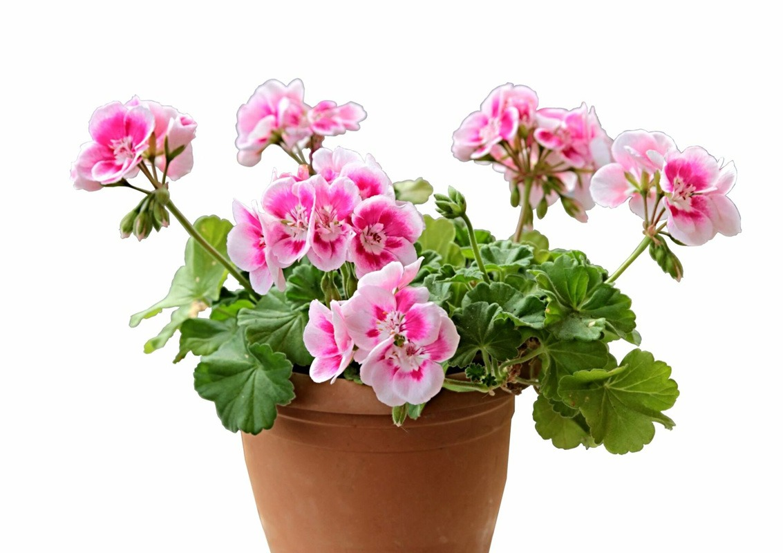 نگهداری از گلدان شمعدانی