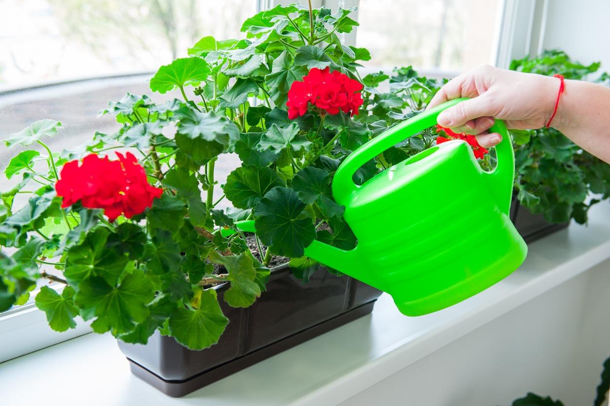 علت گل ندادن شمعدانی در تابستان