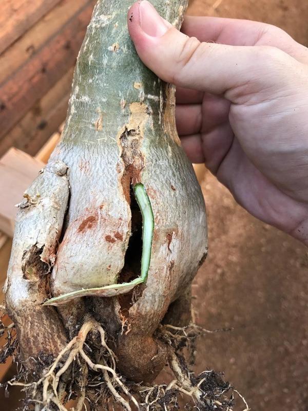 پوسیدگی ریشه آدنیوم
