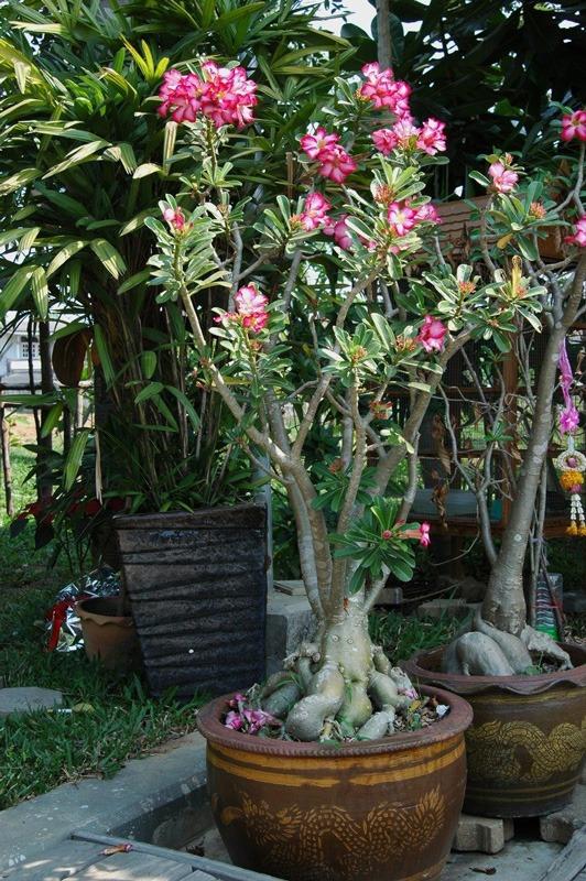 درمان پوسیدگی ریشه آدنیوم