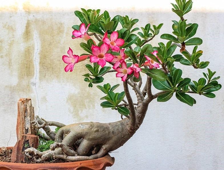 نگهداری گل آدنیوم