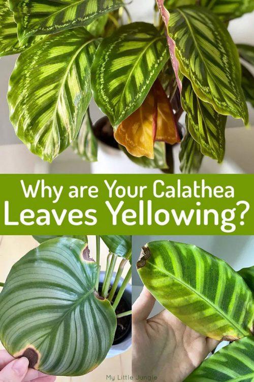 علت زرد شدن برگ کالاتیا