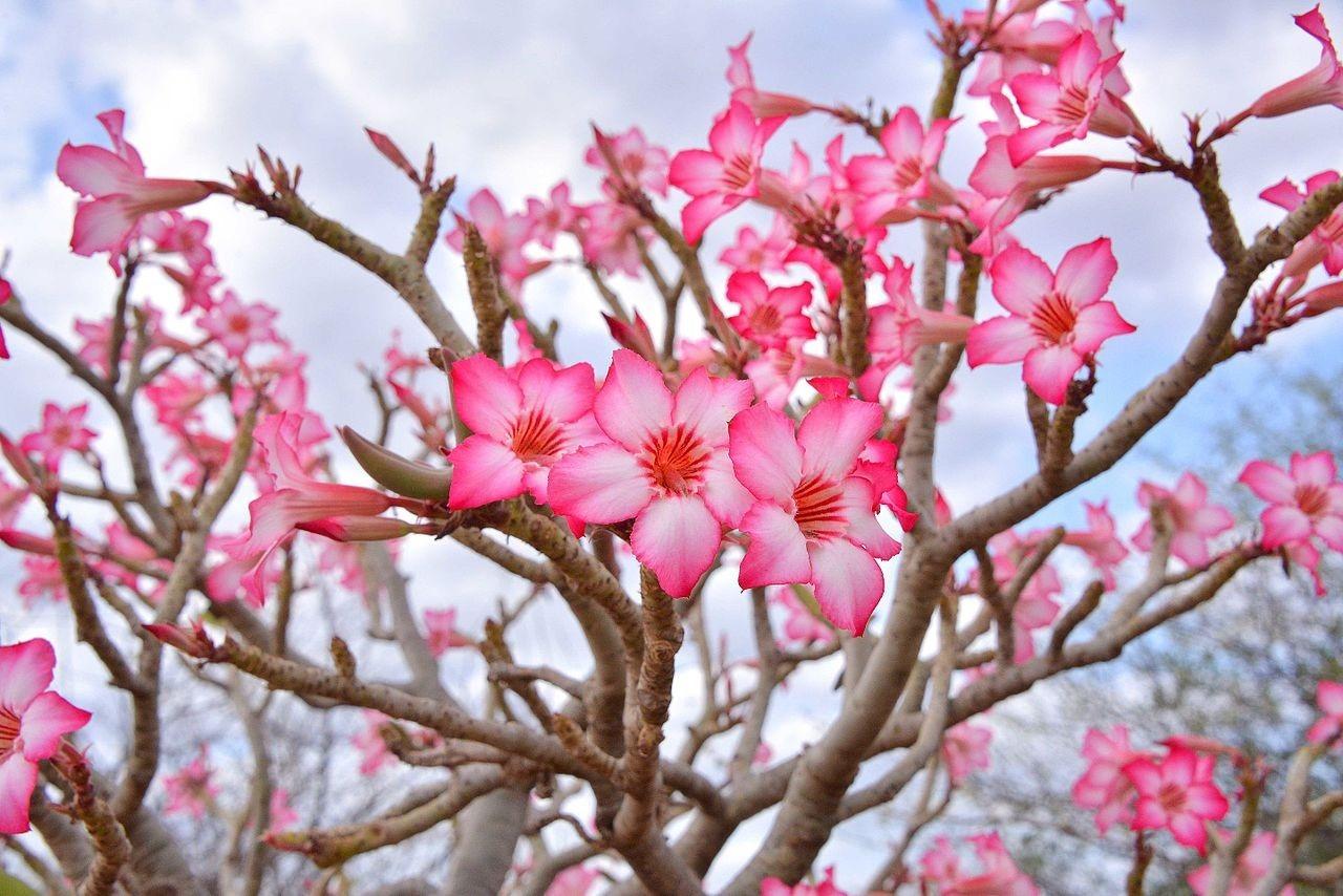مراقبت از گل آدنيوم