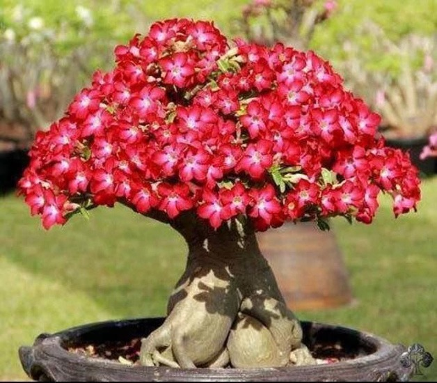دما و رطوبت مناسب برای نگهداری گل آدنیوم