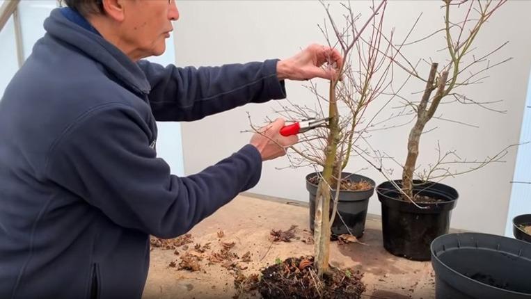 تنها زمانی باید گیاه افرا را هرس کرد که برگ یا ساقه ای خشک شده داشته باشد