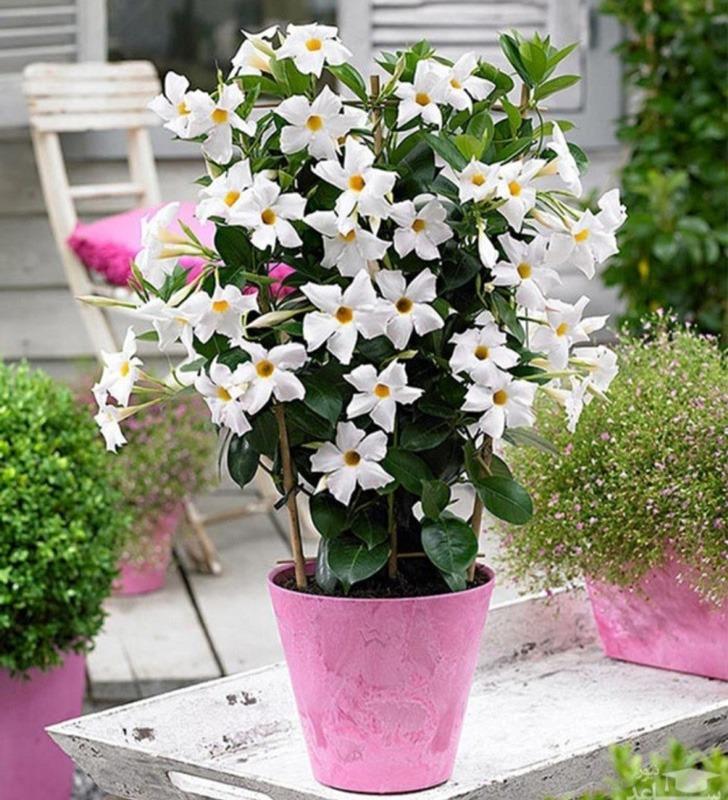 هرس کردن گل یاسمن