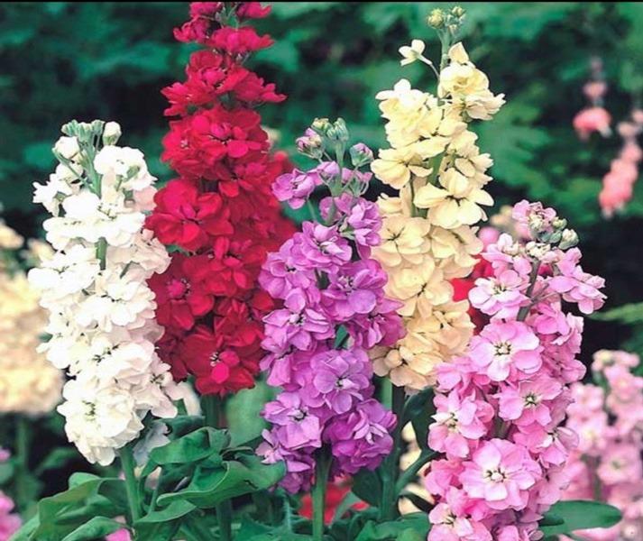 گل هایی که در شب شکوفه می دهند    گل تاتوره استرامونیوم