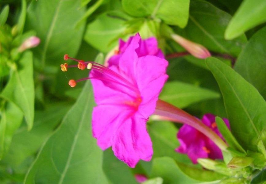 گل فلوکس