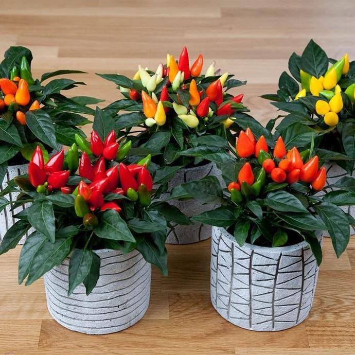 فلفل زینتی Pementa ornamental