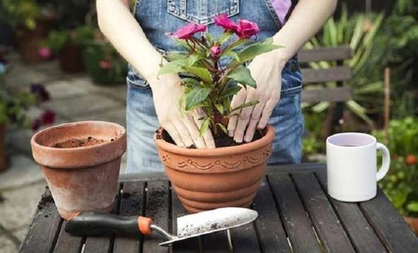 علت پژمرده شدن گیاه بعد از تعویض گلدان + جلوگیری از پژمردگی