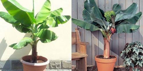 نگهداری و کاشت درخت موز در گلدان