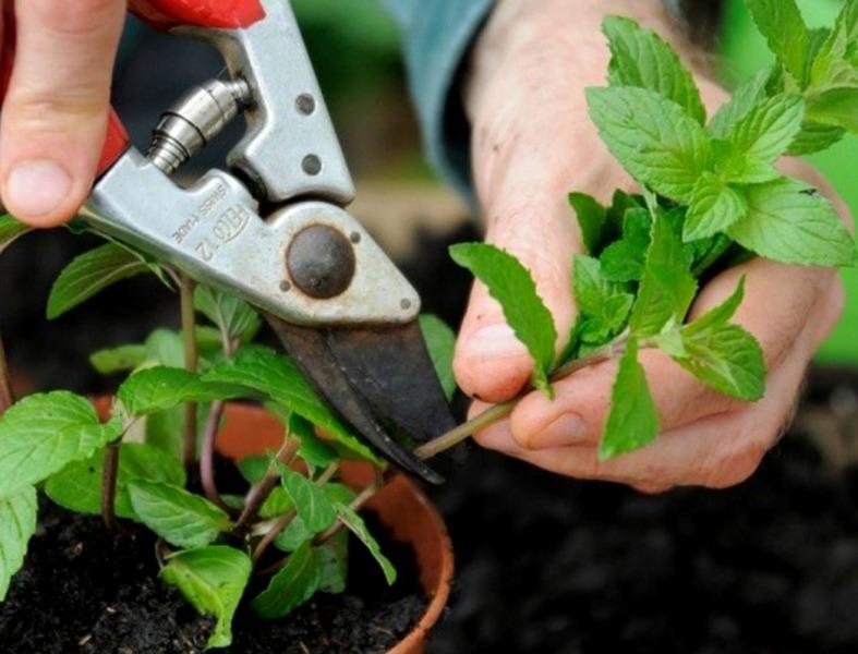 بهترین زمان تکثیر و قلمه زدن گیاهان آپارتمانی | جدا کردن قسمتی از گیاه برای شروع قلمه زدن