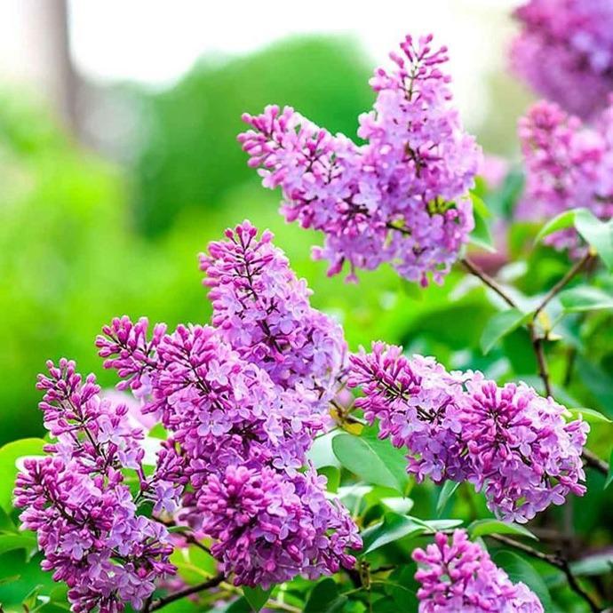 Flor de caléndula rubia de amorodo