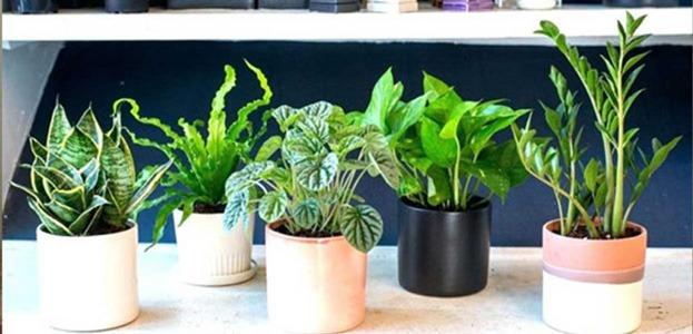خرید گیاهان سایه دوست آپارتمانی