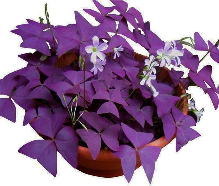 گیاه اگزالیس