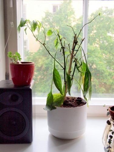 علت پژمرده شدن گیاه بعد از تعویض گلدان