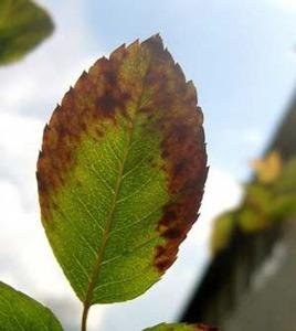 علت سوختن نوک برگ های گل