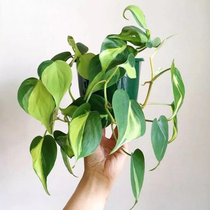 گیاهان آپارتمانی سایه دوست مقاوم به سرما