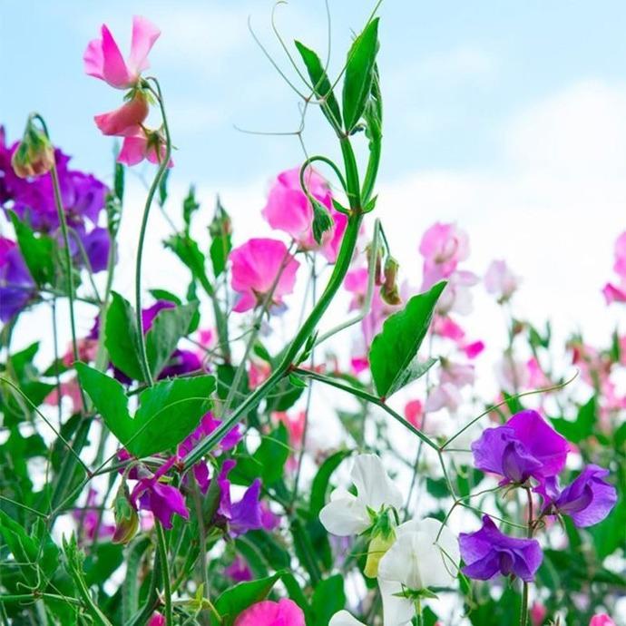 گل آپارتمانی عرق نخود Lathrys odoratus